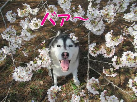 野川公園の桜2018