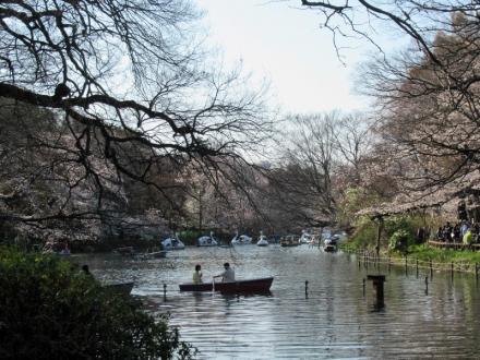 井の頭公園の桜は満開まであと少し