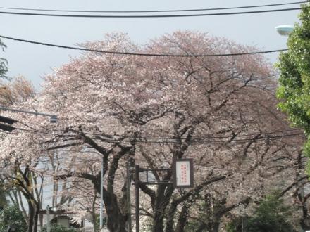 咲き始めた桜2018