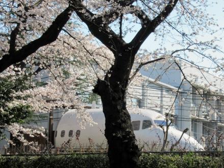 航空宇宙センターの桜