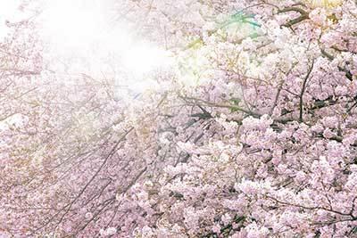 cherry-blossom_00005.jpg