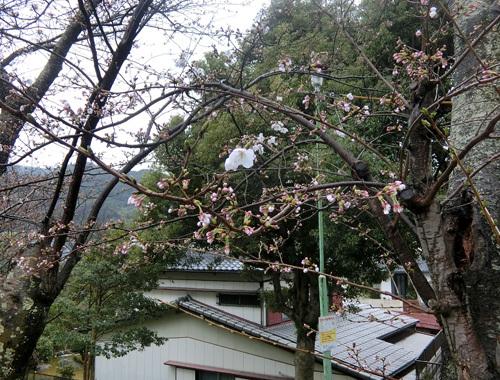 サクラ咲いてます。