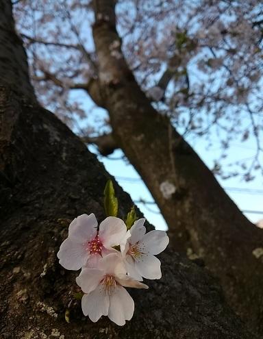 明和の桜 (1)