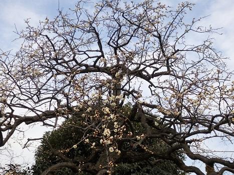 きれぎれの風彩 「夫婦枝垂れウメの花」01