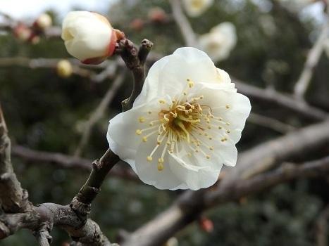 きれぎれの風彩 「夫婦枝垂れウメの花」03