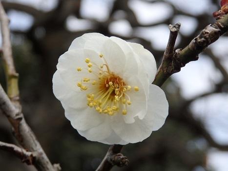 きれぎれの風彩 「夫婦枝垂れウメの花」04