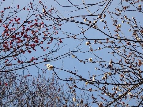 きれぎれの風彩 「花と緑の振興センターの梅」