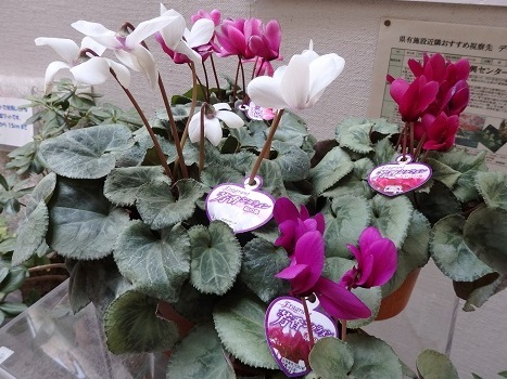 きれぎれの風彩 芳香シクラメン 180225-1