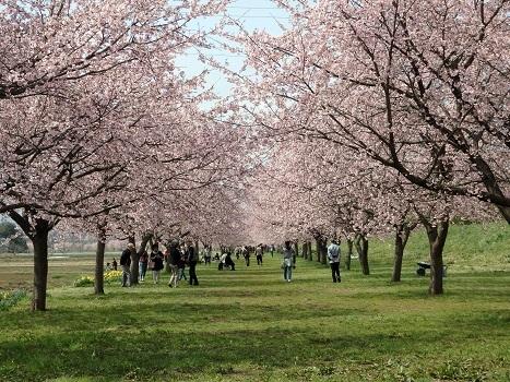 きれぎれの風彩「安行寒桜の桜並木0324」180325-01