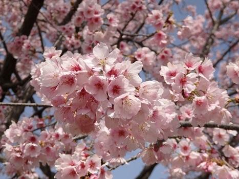 きれぎれの風彩「安行寒桜の桜並木0324」180325-07