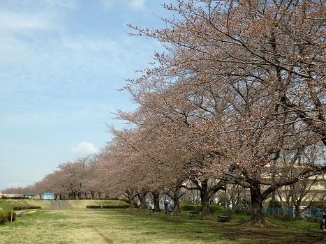 きれぎれの風彩「坂戸市のソメイヨシノ0324」