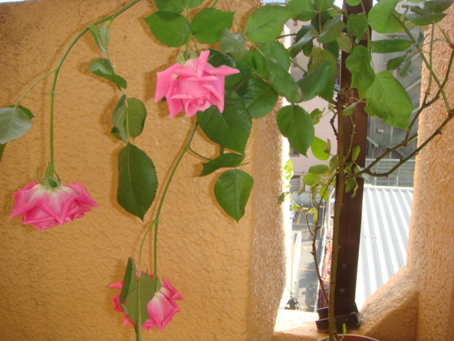 薔薇ベランダ