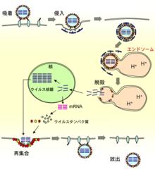 220px-Influenzavirus_Prolif.png