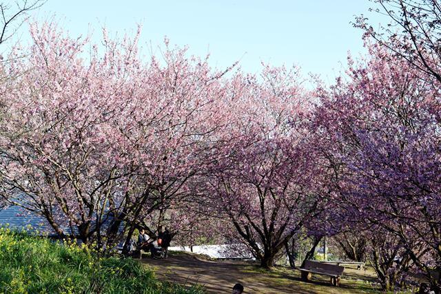 桑田山雪割桜2web