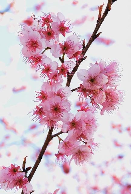 桑田山雪割桜3アップ飛ばしweb