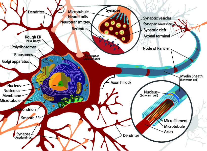 Complete_neuron_cell_diagram_en.jpg