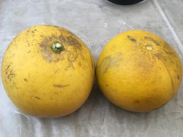 晩白柚が盗まれた2