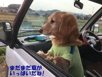 ニンニク玉ねぎ草取り追肥8