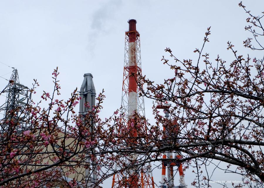 常磐共同火力(株)勿来発電所の河津桜 2分程度まで開花しました! [平成30年3月12日(月)更新]1