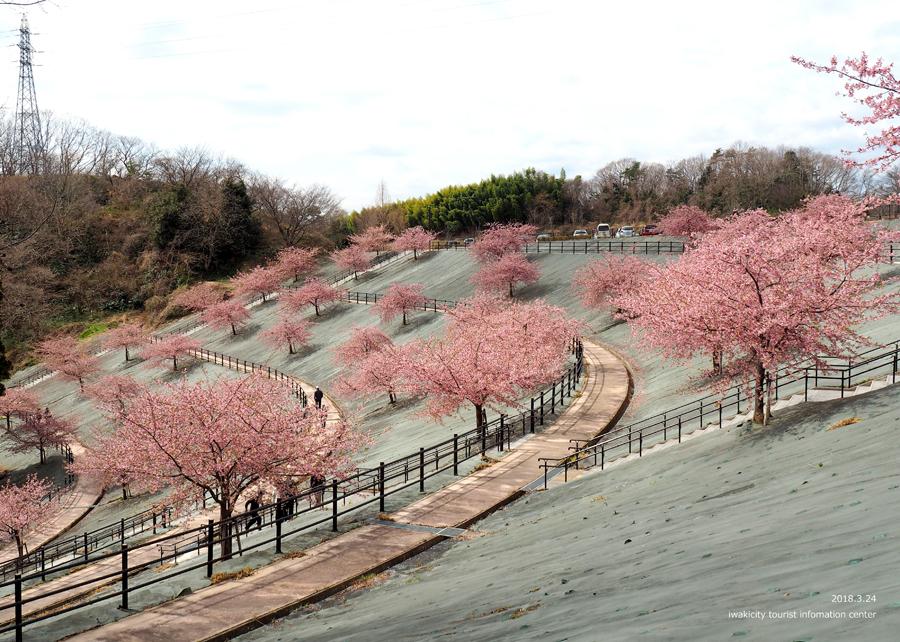 21世紀の森公園の河津桜が見頃です! [平成30年3月24日(日)更新]1