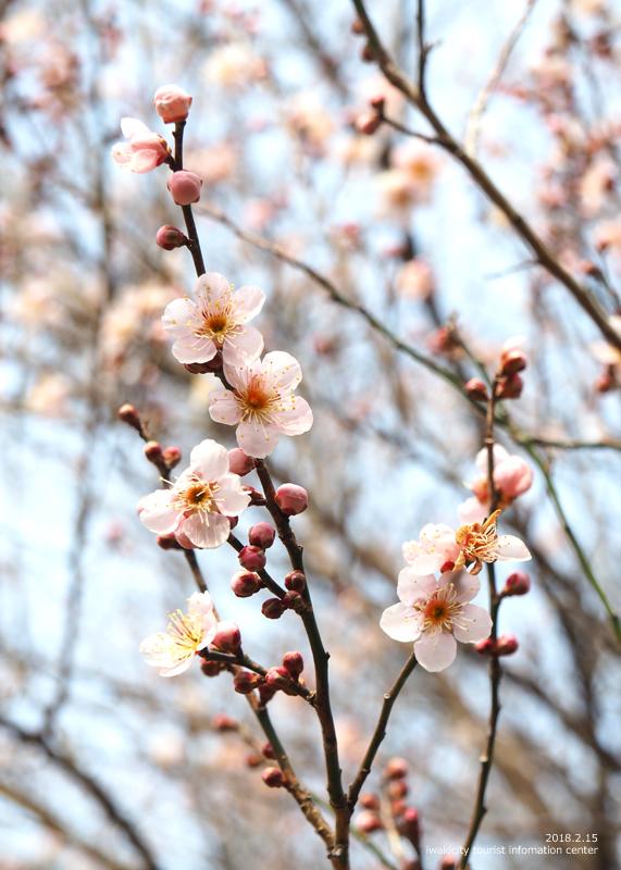 白鳥山温泉「喜楽苑」のウメが開花しました! [平成30年2月16日(金)更新]1