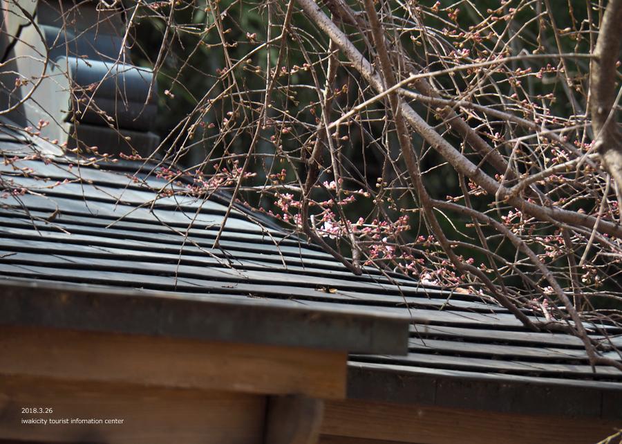 《いわき市桜情報》小川諏訪神社のシダレザクラ 開花までもう間もなくです! [平成30年3月26日(月)更新]9