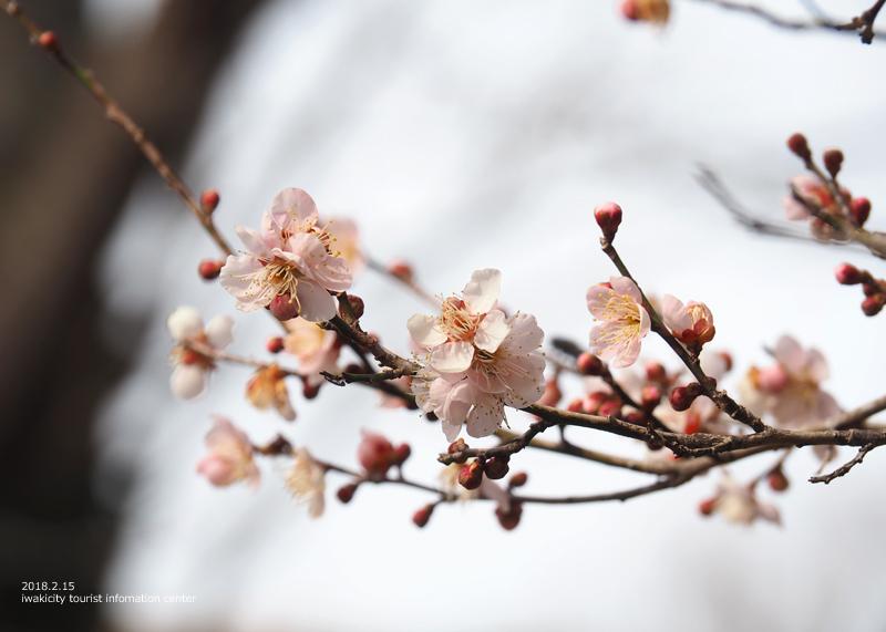 白鳥山温泉「喜楽苑」のウメが開花しました! [平成30年2月16日(金)更新]10