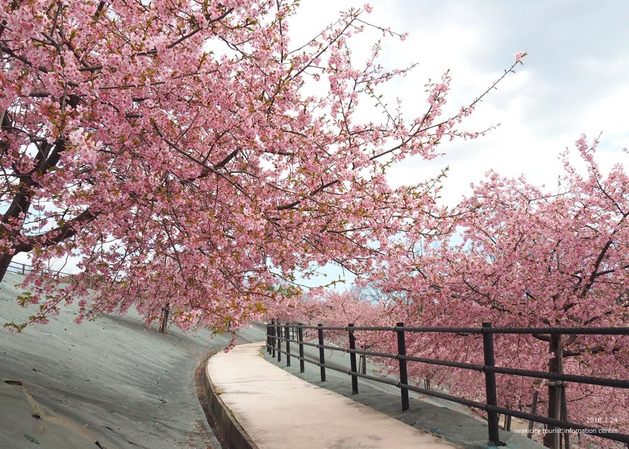 21世紀の森公園の河津桜が見頃です! [平成30年3月24日(日)更新]11