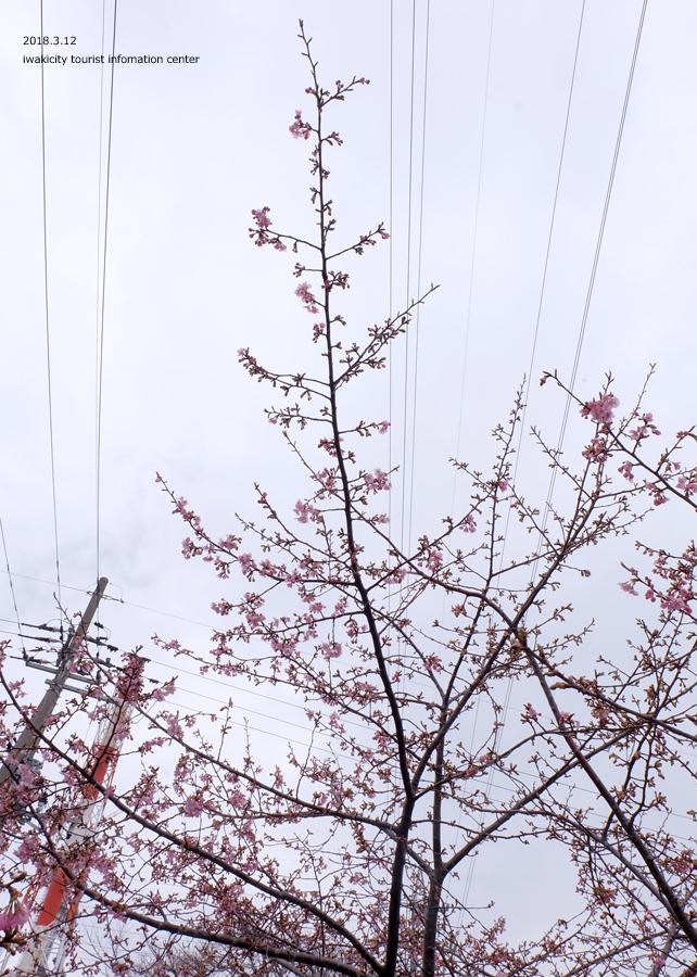 常磐共同火力(株)勿来発電所の河津桜 2分程度まで開花しました! [平成30年3月12日(月)更新]12