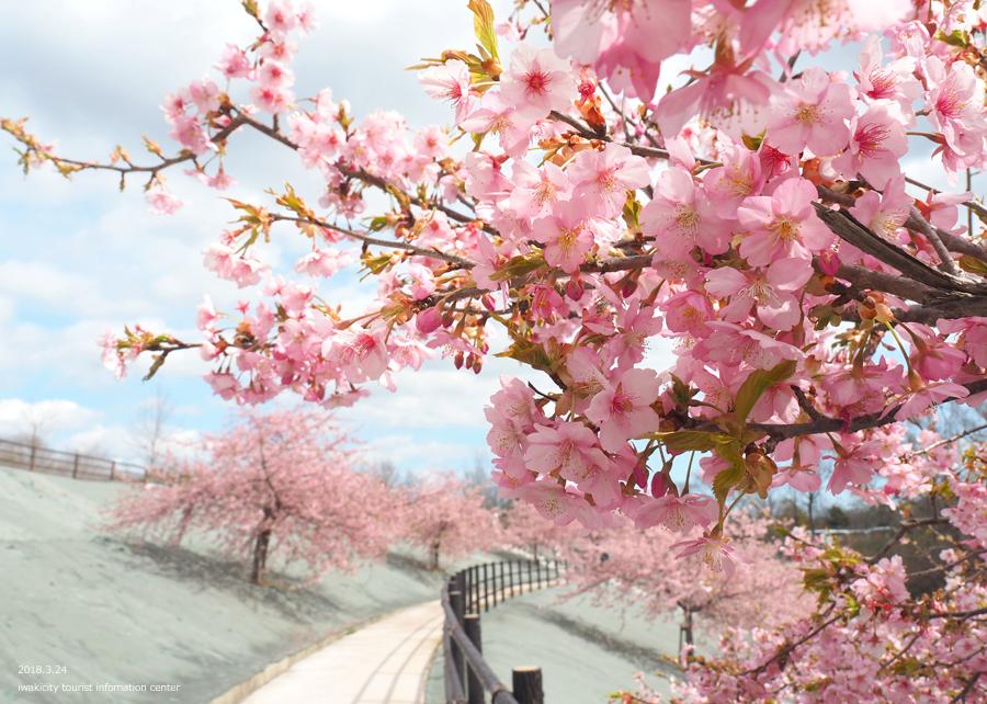 21世紀の森公園の河津桜が見頃です! [平成30年3月24日(日)更新]12