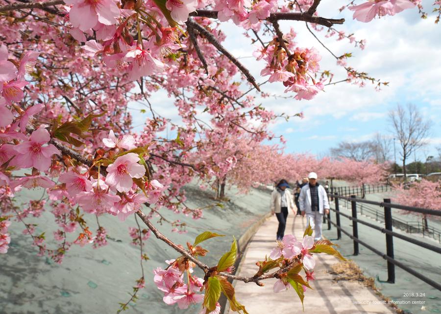 21世紀の森公園の河津桜が見頃です! [平成30年3月24日(日)更新]13