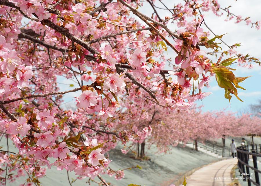 21世紀の森公園の河津桜が見頃です! [平成30年3月24日(日)更新]14
