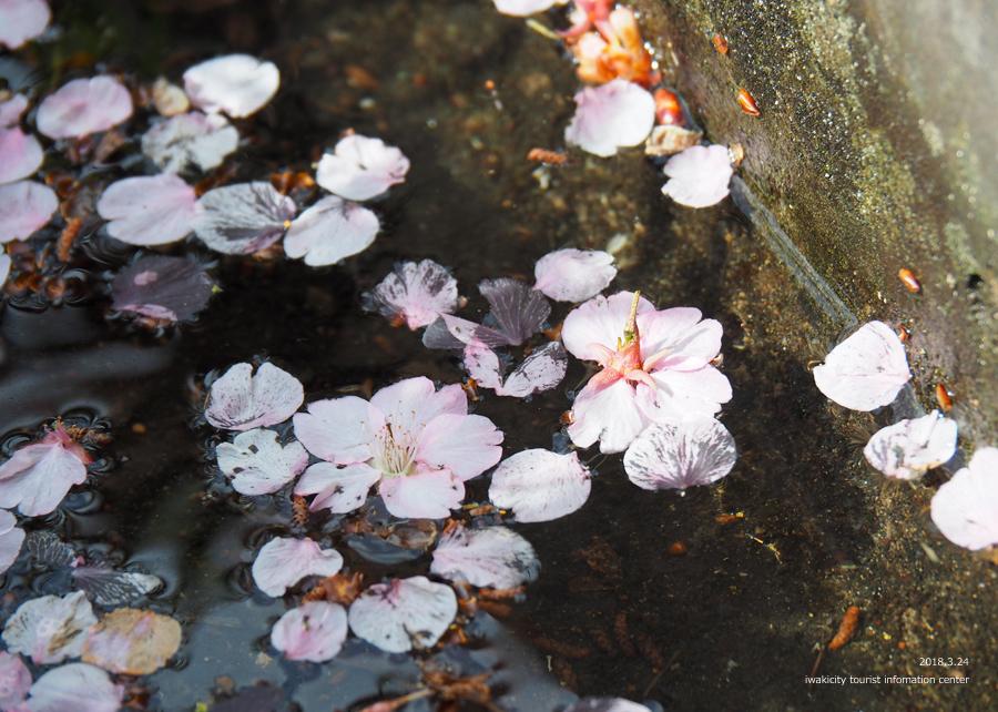 21世紀の森公園の河津桜が見頃です! [平成30年3月24日(日)更新]15