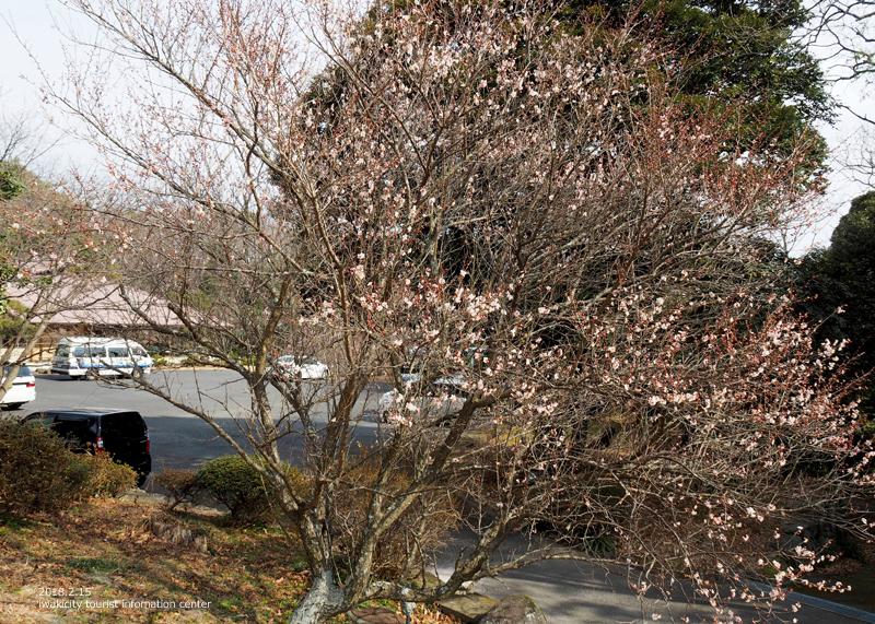 白鳥山温泉「喜楽苑」のウメが開花しました! [平成30年2月16日(金)更新]2