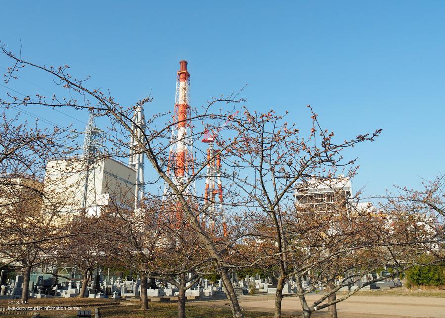 常磐共同火力(株)勿来発電所の河津桜が開花しました♪ [平成30年3月9日(金)更新]2