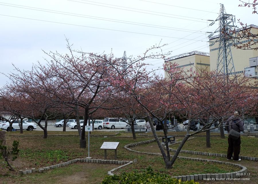 常磐共同火力(株)勿来発電所の河津桜 2分程度まで開花しました! [平成30年3月12日(月)更新]2