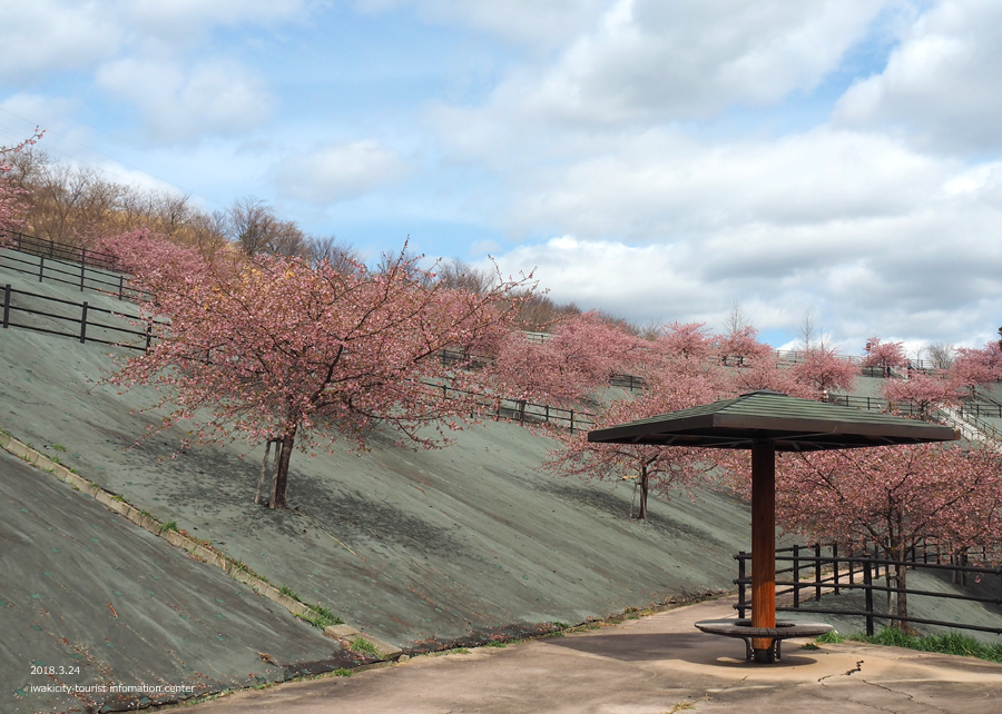 21世紀の森公園の河津桜が見頃です! [平成30年3月24日(日)更新]2