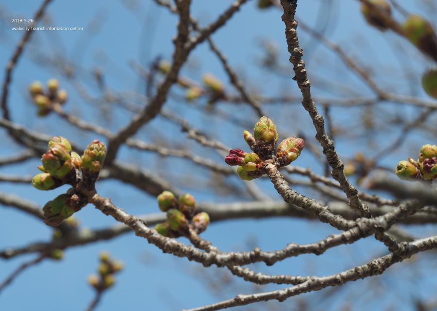 《いわき市桜情報》小川諏訪神社のシダレザクラ 開花までもう間もなくです! [平成30年3月26日(月)更新]2