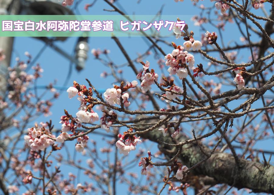 国宝白水阿弥陀堂参道のヒガンザクラが咲き始めました♪ [平成29年3月16日(金)更新]