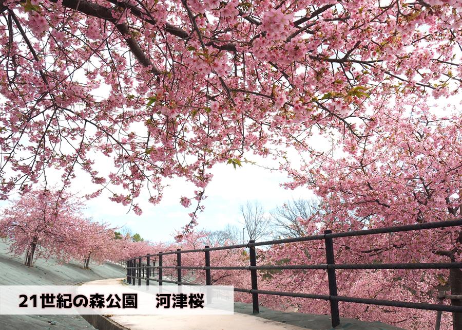 21世紀の森公園の河津桜が見頃です! [平成30年3月24日(日)更新]トップ