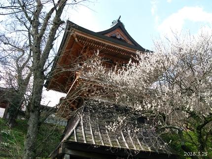 専称寺の梅が限定公開されました [平成30年3月25日(日)更新]01
