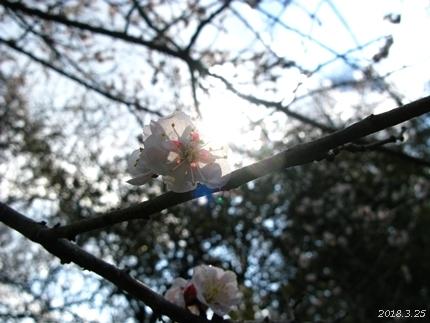 専称寺の梅が限定公開されました [平成30年3月25日(日)更新]06