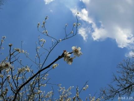 専称寺の梅が限定公開されました [平成30年3月25日(日)更新]07