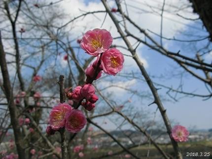 専称寺の梅が限定公開されました [平成30年3月25日(日)更新]09