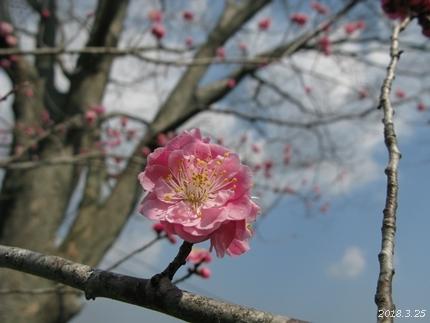 専称寺の梅が限定公開されました [平成30年3月25日(日)更新]10