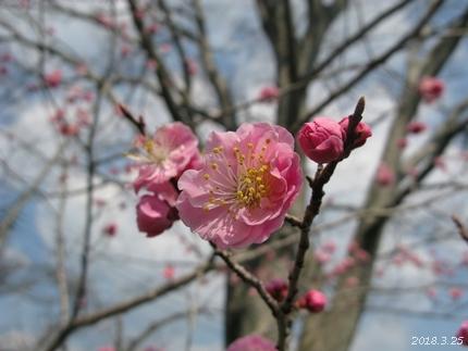 専称寺の梅が限定公開されました [平成30年3月25日(日)更新]11