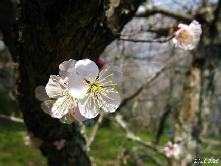 専称寺の梅が限定公開されました [平成30年3月25日(日)更新]13