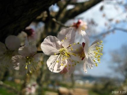 専称寺の梅が限定公開されました [平成30年3月25日(日)更新]14