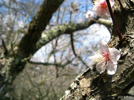 専称寺の梅が限定公開されました [平成30年3月25日(日)更新]15