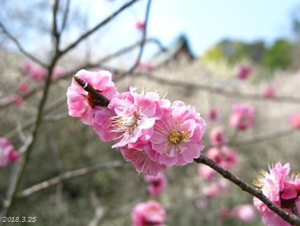 専称寺の梅が限定公開されました [平成30年3月25日(日)更新]16